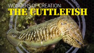 Wonders of Creation: Cuttlefish