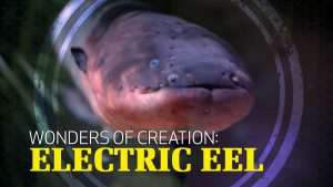 Wonders of Creation: Electric Eel