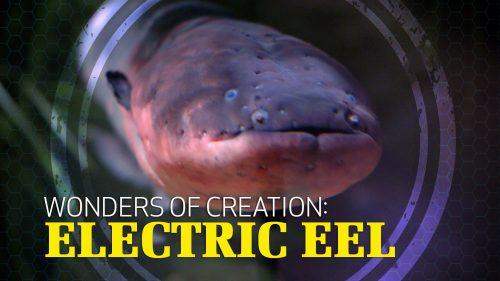 Wonders of Creation: Electric Eels