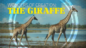 Wonders of Creation: Giraffes