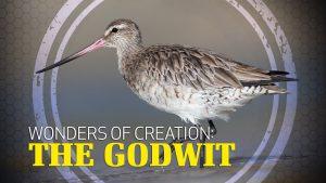 Wonders of Creation: Godwit