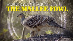 Wonders of Creation: Mallee Fowl