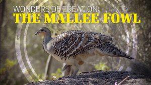 Wonders of Creation: Mallee Fowl