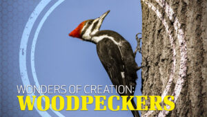 Wonders of Creation: Woodpeckers
